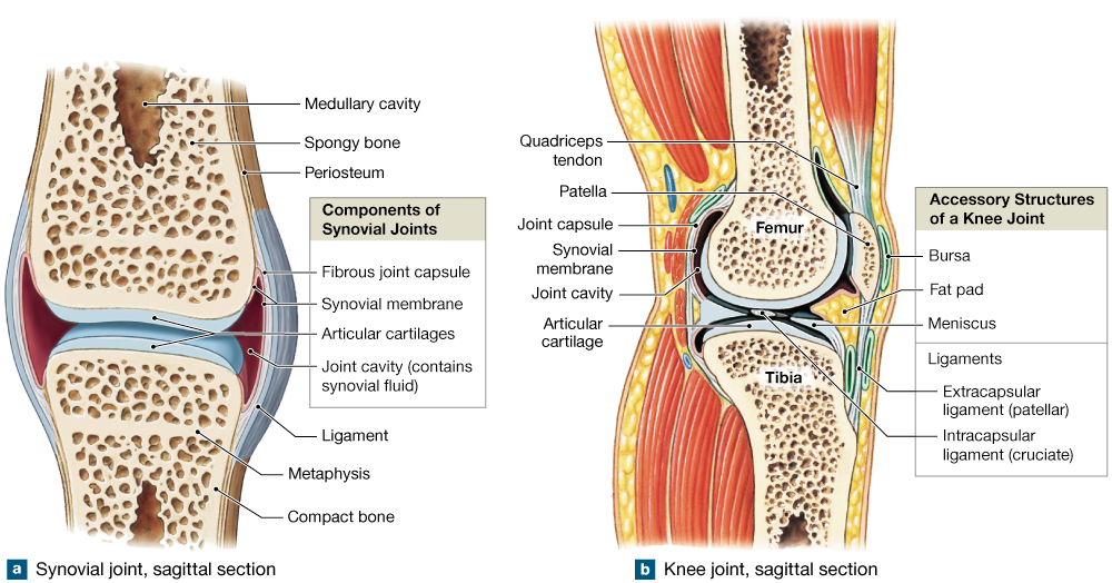 9.2: Diarthroses: Synovial joints contain synovial fluid and are ...