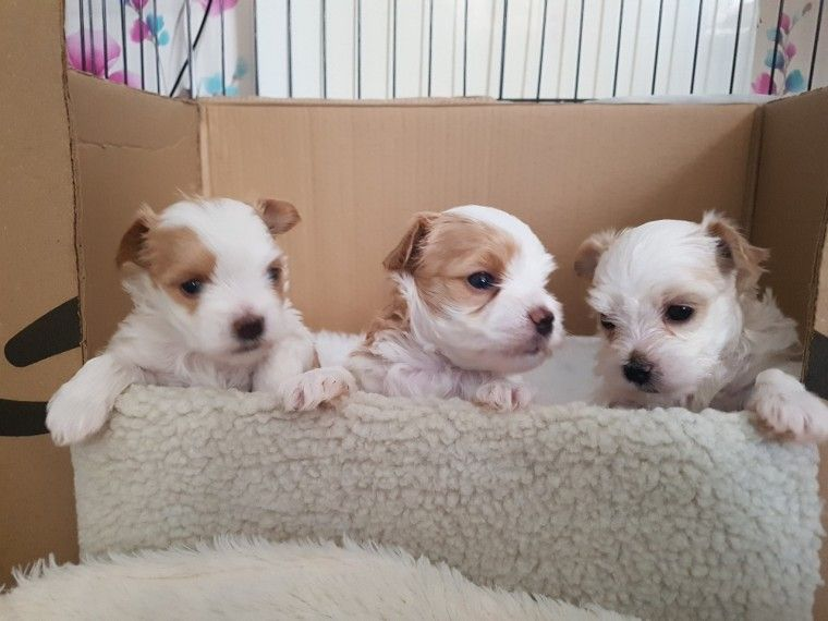 Kuwait Dogs And Puppies Adoption And Sales Email Us At Khaleelsalafi Hotmail Com Gol Yorkshire Terrier Goldendoodle Puppy For Sale Rottweiler Puppies For Sale