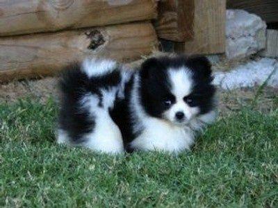 Pomskies Pomsky Puppies Cute Animals Cute Dogs