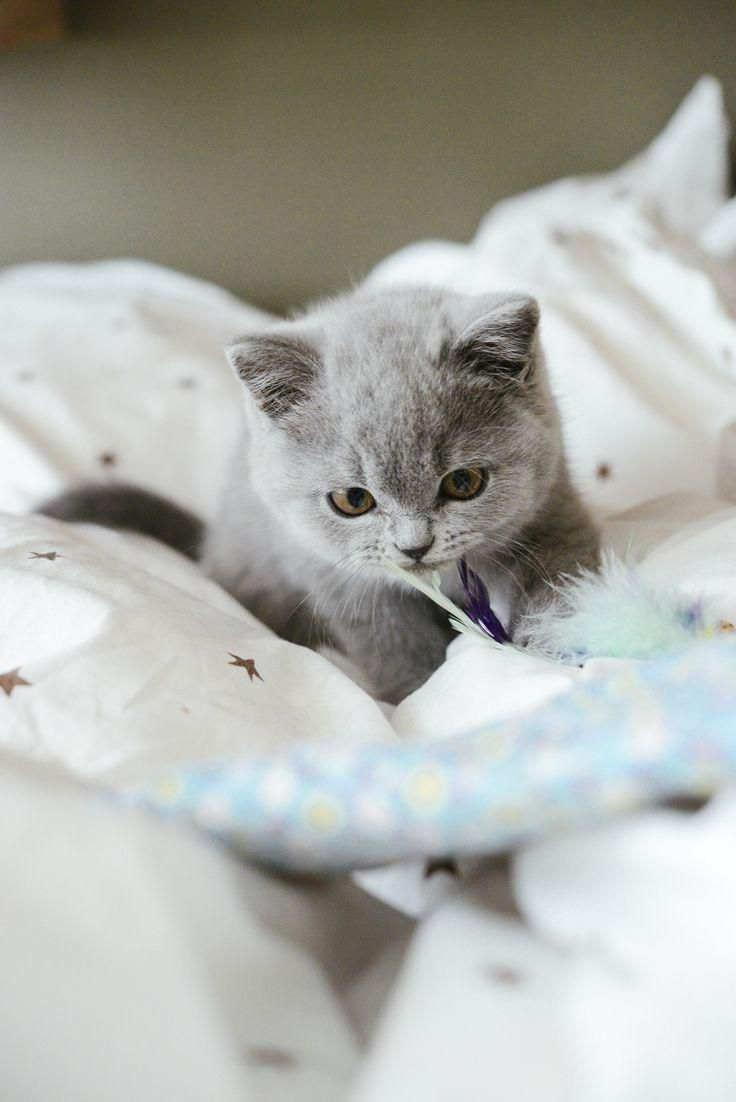 #chat  #chaton  #kitten  #cat  #britishcat  #britishlonghair  #britishshorthair  #catlovers  #catvideo  #catblogger  #catyoutuber  #ilovemycat  #cutecat  #chatmignon #British #Shorthair Chaton British Shorthair - Crédit photo Vanessa Pouzet Blog pour les félins modernes