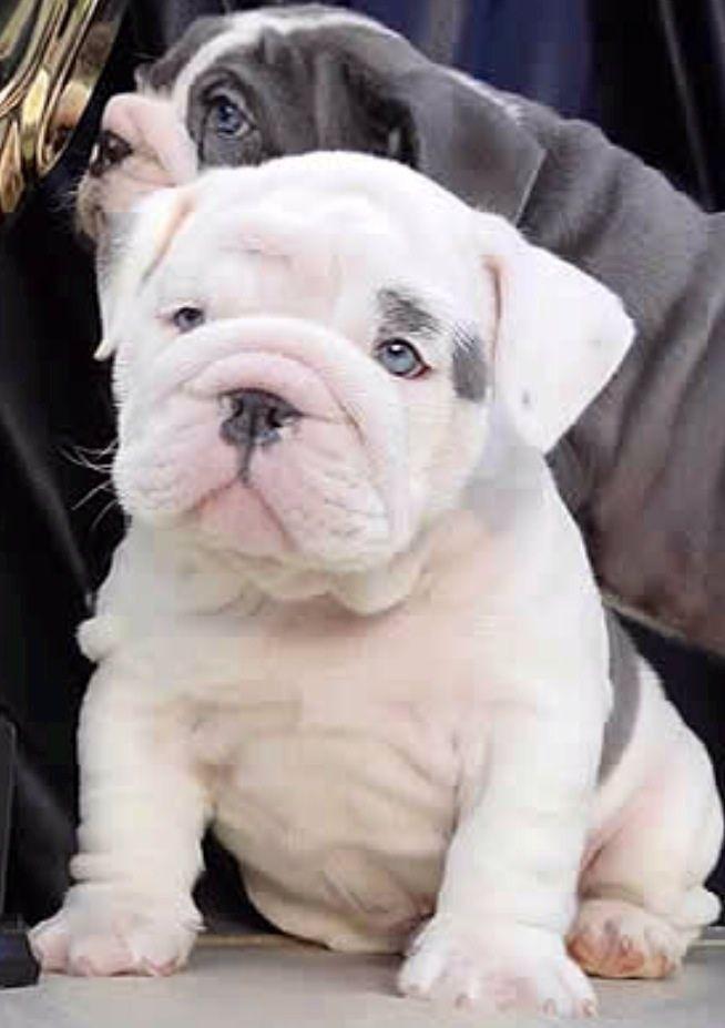 Miniature Bulldog My Next Pup Baby Animals English Bulldog