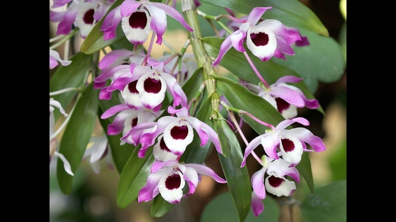 Amazing And Most Beautiful Dendrobium Orchid Flowers Dendrobium Nobile Dendrobium Orchids Care Dendrobium Orchids