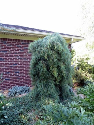 Angel Falls Weeping White Pine Looks Like A Mound Of Cashmere