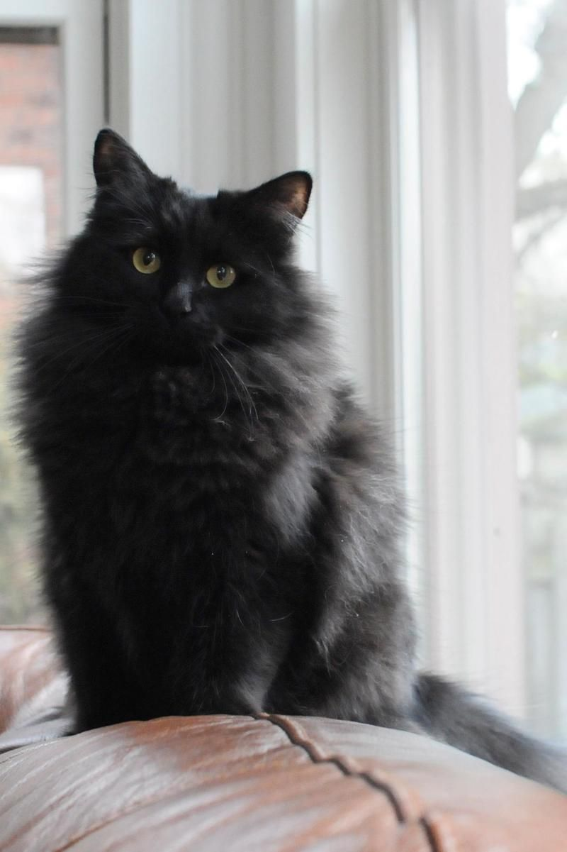 Adopt Hope On Petfinder Fluffy Black Cat Beautiful Cats Cute Cats
