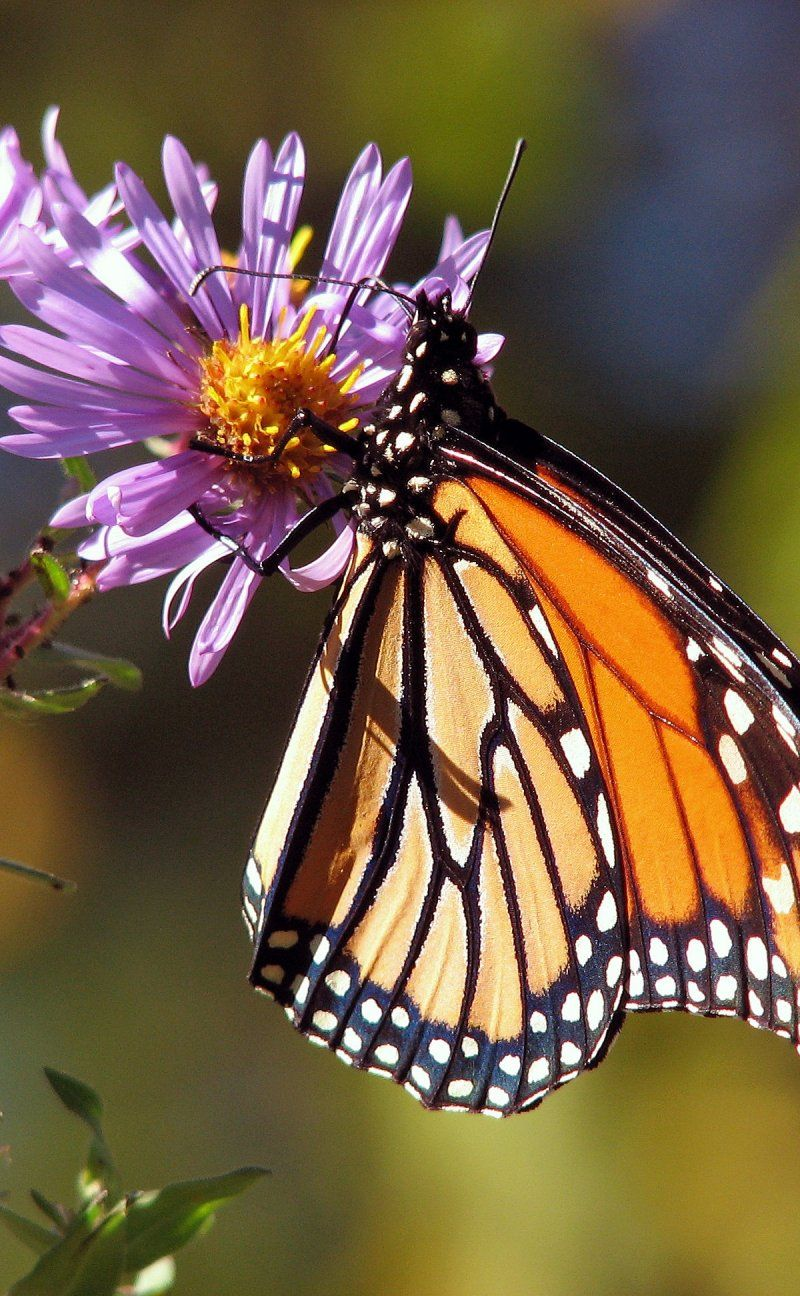 Butterfly Butterflies Monarch Insect Insects Bug Bugs Dragonfly