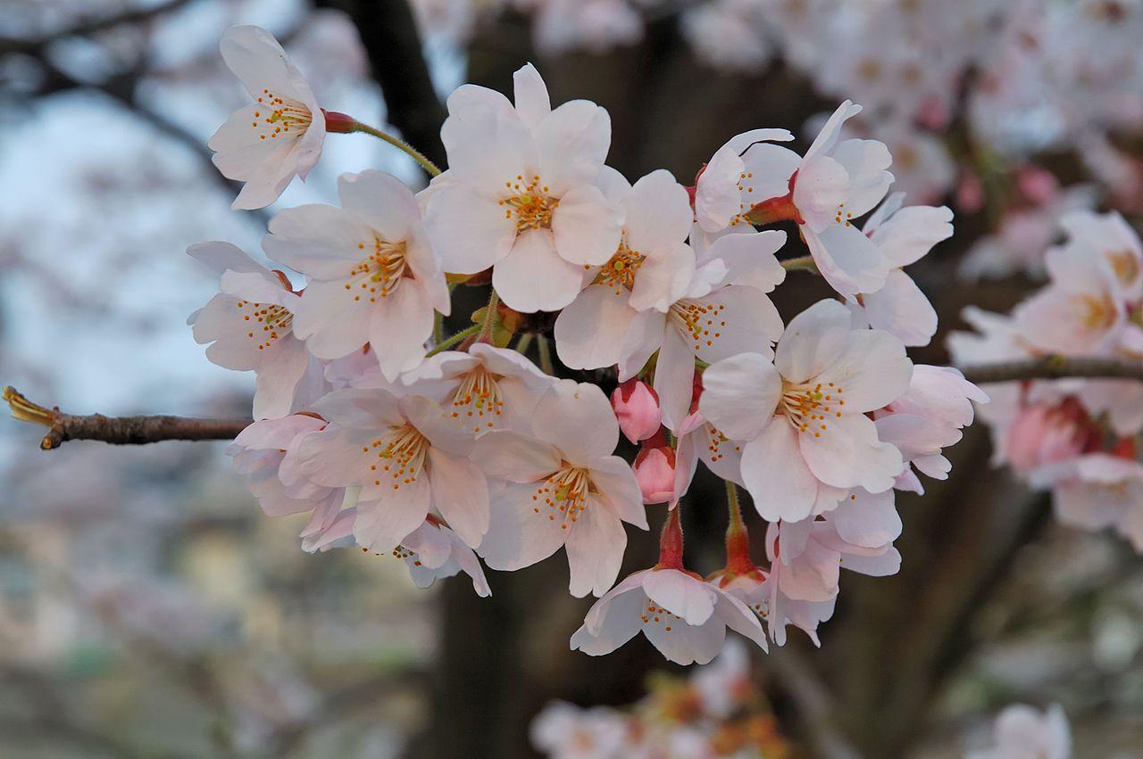 Britain In Bloom Cherry Blossom In Wavertree Botanic Gardens Liverpool England April 2015 En Wikipedia Org Wiki Botanical Gardens Cherry Blossom Botanical