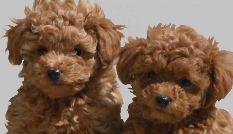 Brings Back Memories Of Little Pup The Only Man In My Bed Every Night Poodle Puppy Red Poodle Puppy Toy Poodle Puppy