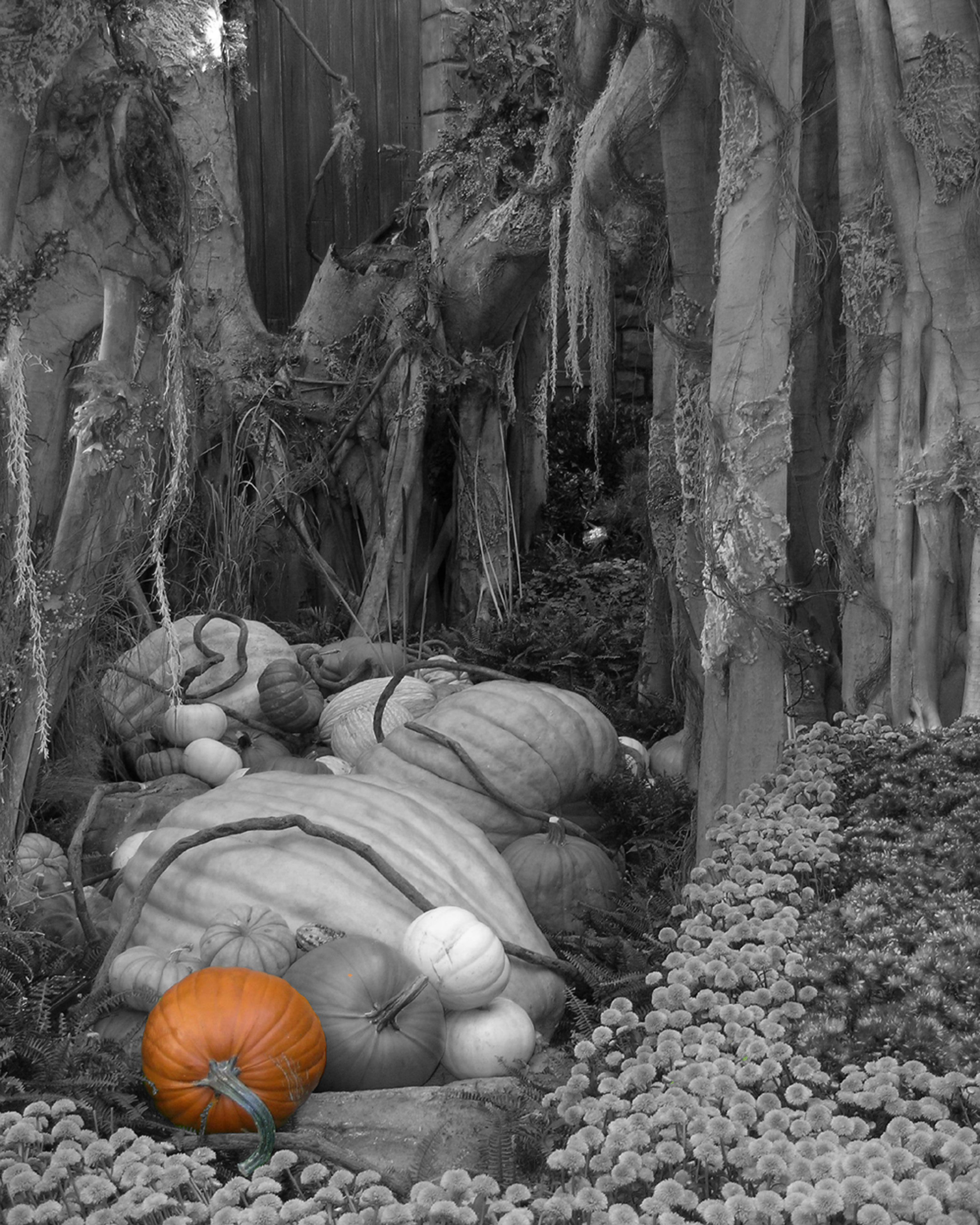 Pumpkins in the woods in black and white with a splash of color. To ...