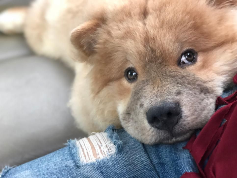 Chow Chow Best Dog Breeds Dog Breeds Dogs