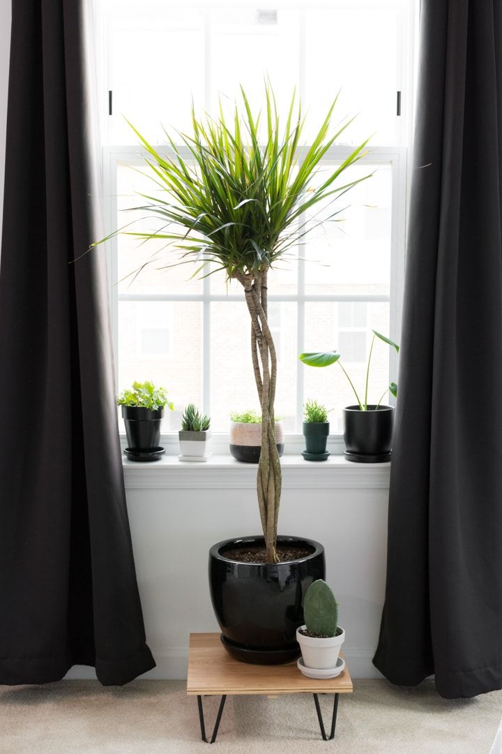Dracaena care all about growing dracaena indoors