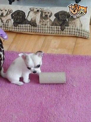 Stunning Kc Reg Tiny Chihuahua Chihuahua Cute Puppies Dogs