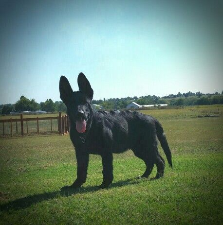 Solid Black German Shepherd Puppy 3 1 2 Months Old 51 Lbs Ayers