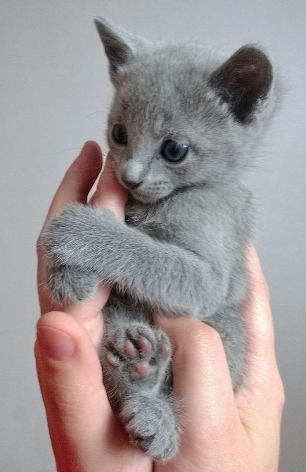 Parent's With Huge Secret Russian blue kitten, Russian