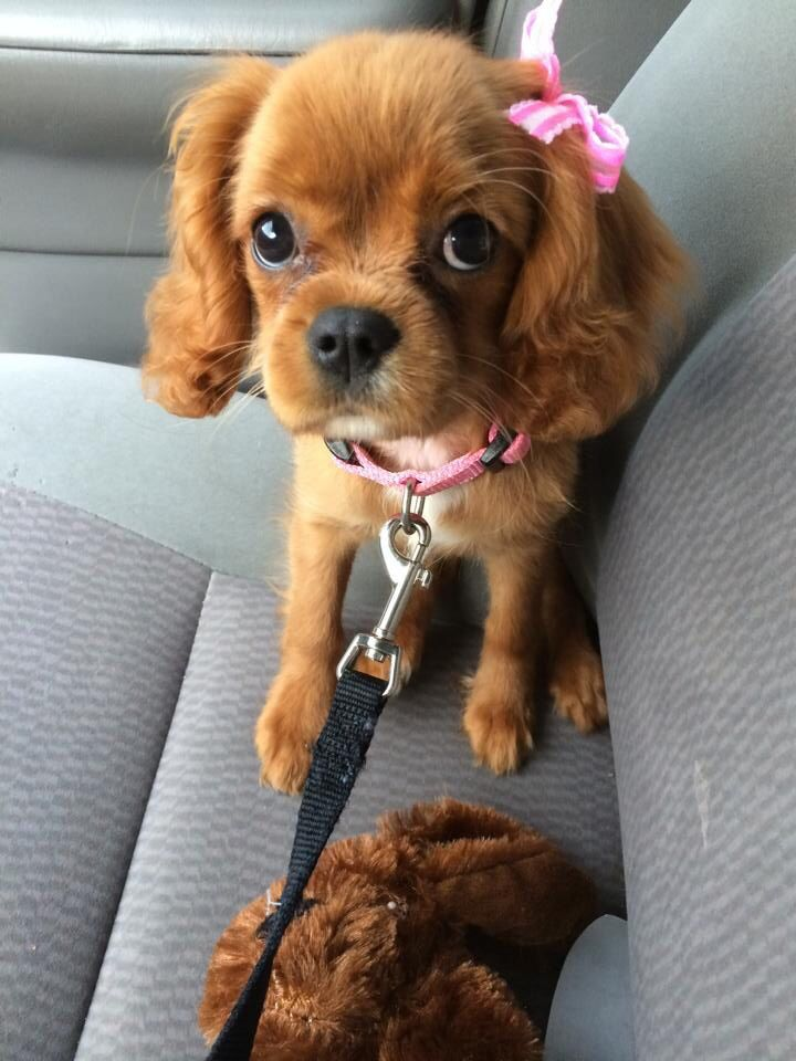 Download Charles Spaniel Brown Adorable Dog - 89a38605d3f5afd131c6604b70e46003  Best Photo Reference_431462  .jpg