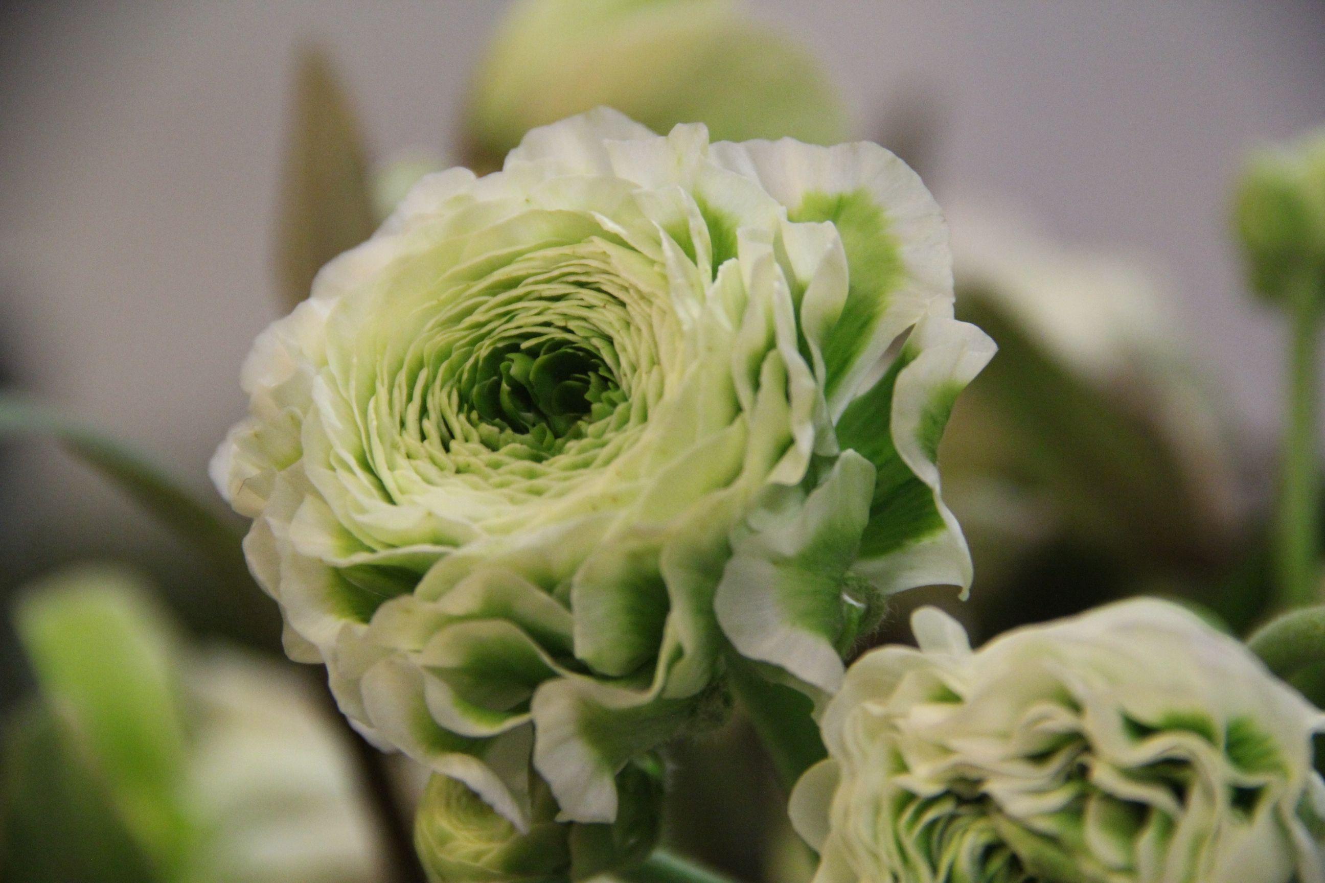 Deko Flora Line pon pon ranunkel in weiss aus italien weisse blüten in vielen