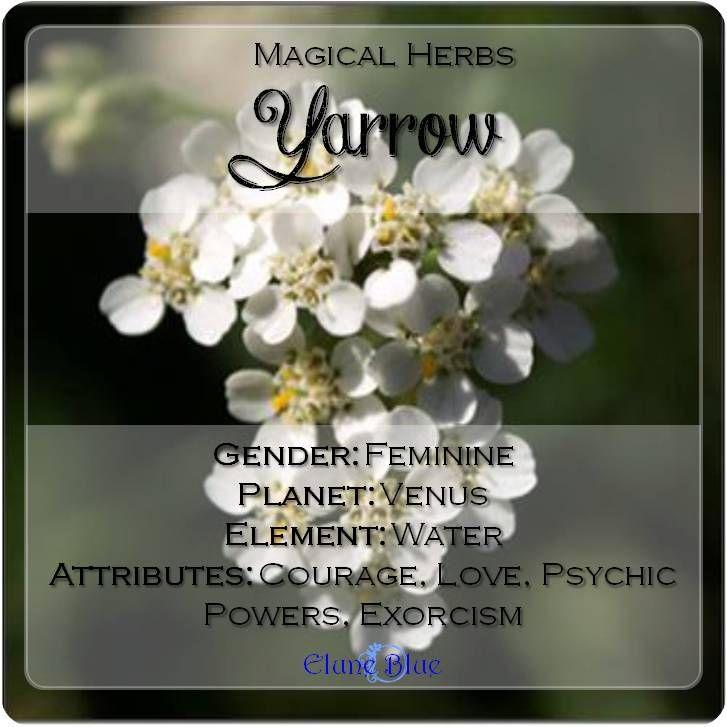 The Companion Herb Yarrow Magical Properties And Uses Magical Herbs Magical Herbs Magickal Herbs Yarrow