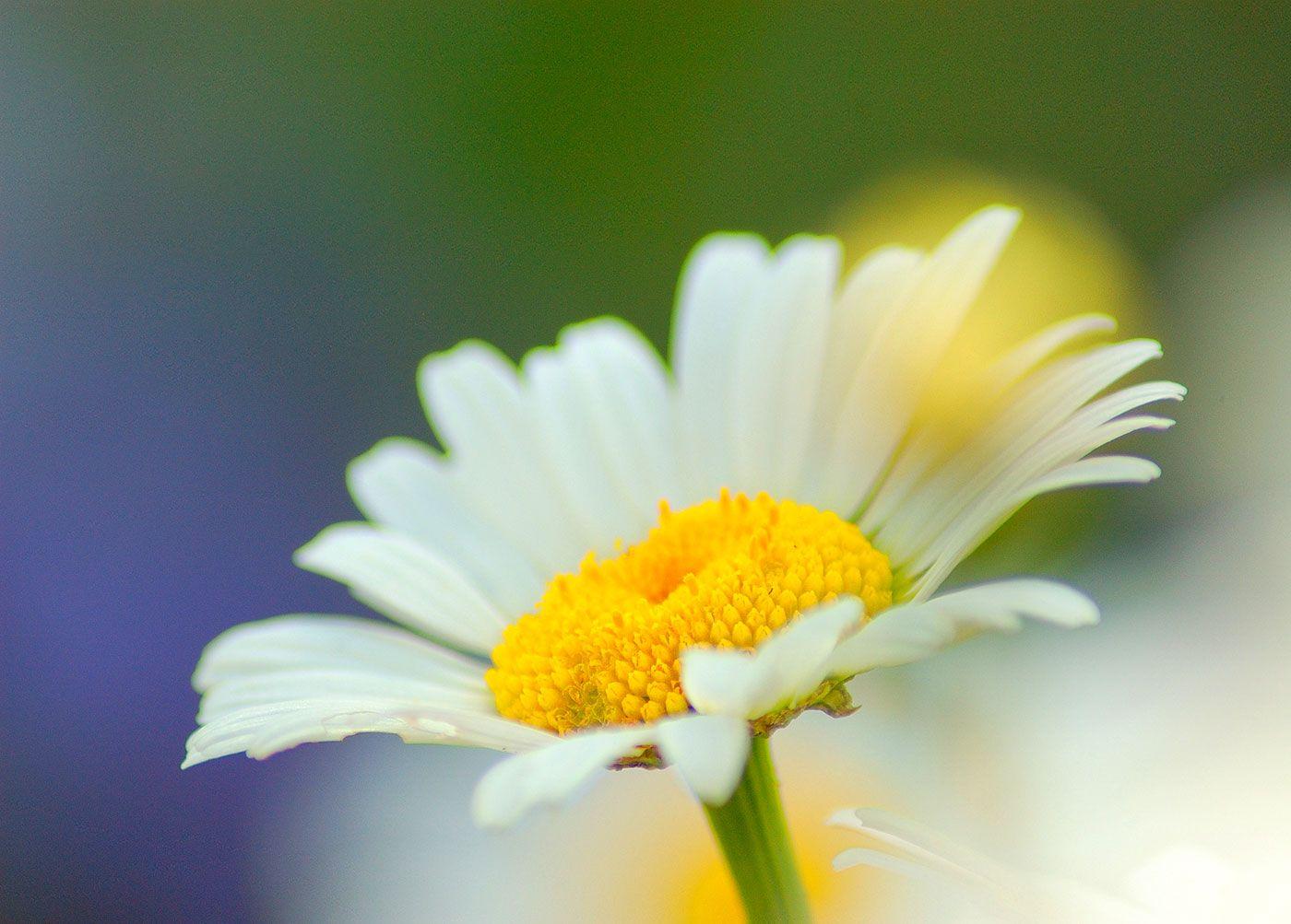 Beautiful white daisy flower flowers pinterest flowers and gardens beautiful white daisy flower izmirmasajfo Choice Image