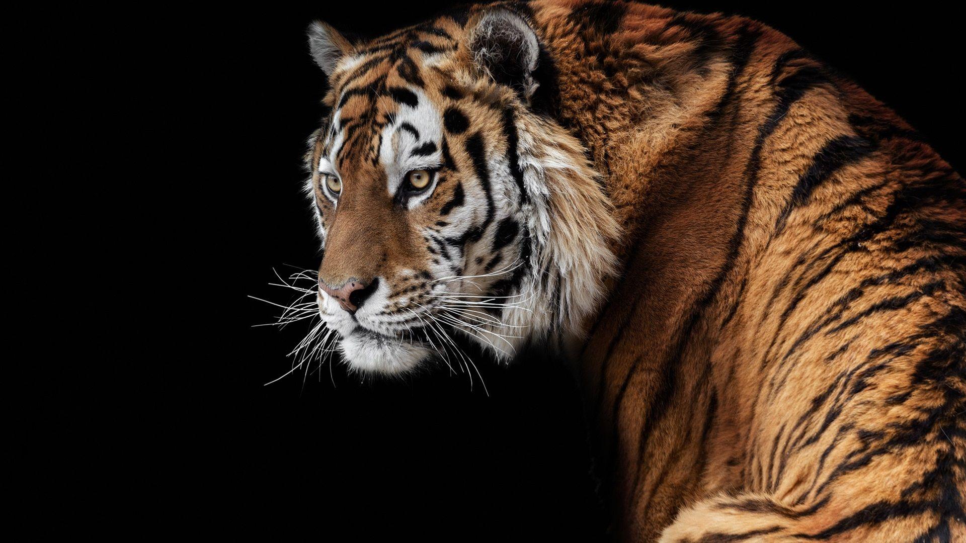 1920x1080 Full Hd Wallpaper Amur Tiger Look Back Face Black Background Tiger Images Amur Tiger Tiger