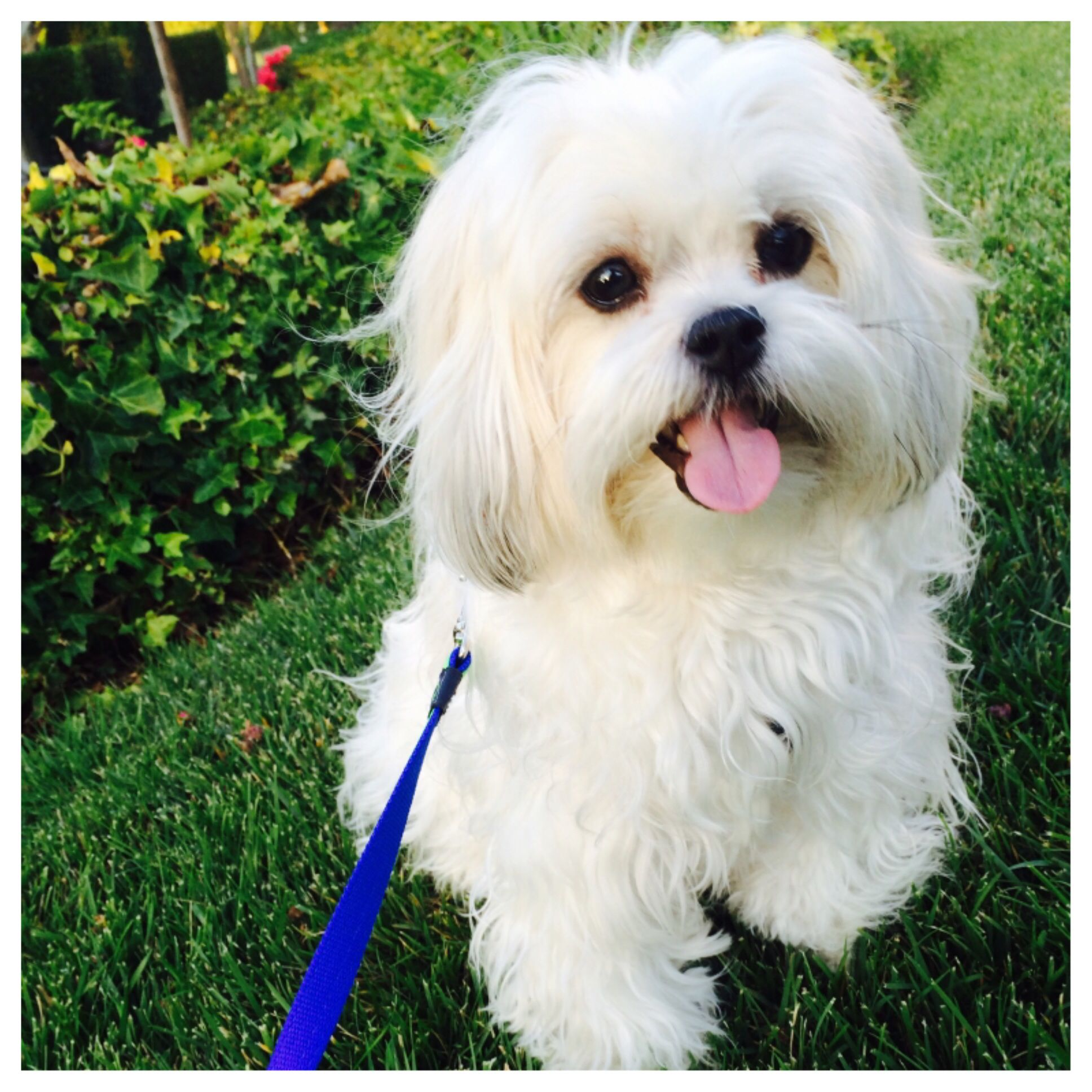 Baxter On Nationaldogday Maltichin Jatese Maltese Japanese Chin