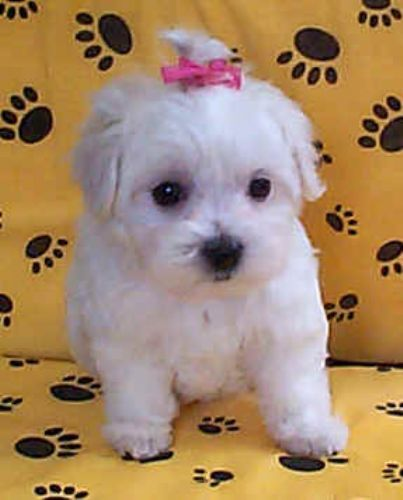 Puppies Maltese Puppy Maltese Dogs Care Puppies