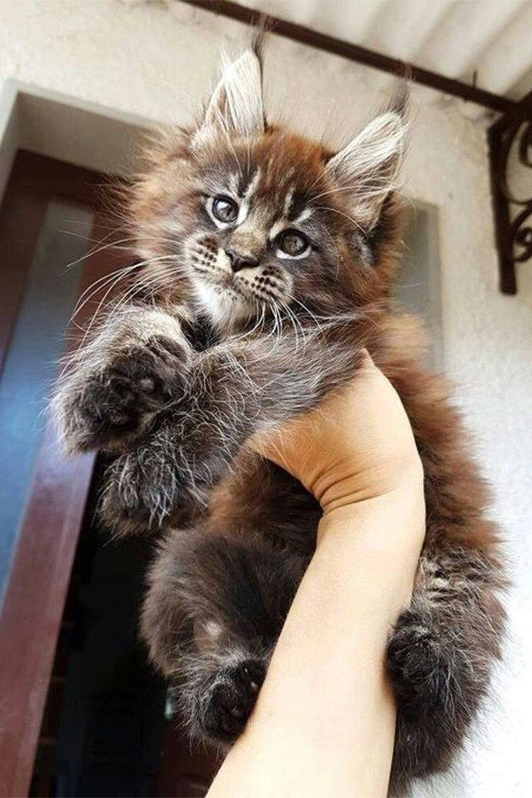 Pin On Maine Coon Cats Galore