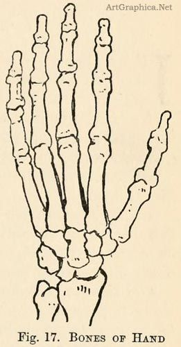 Bones Of The Hand Learning Art Drawing Pinterest Drawings