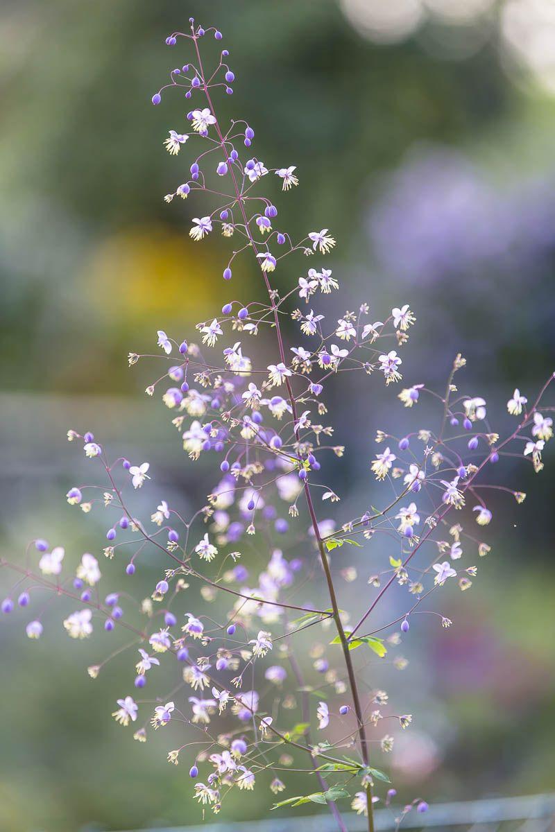 Blumenportrait: Die Wiesenraute