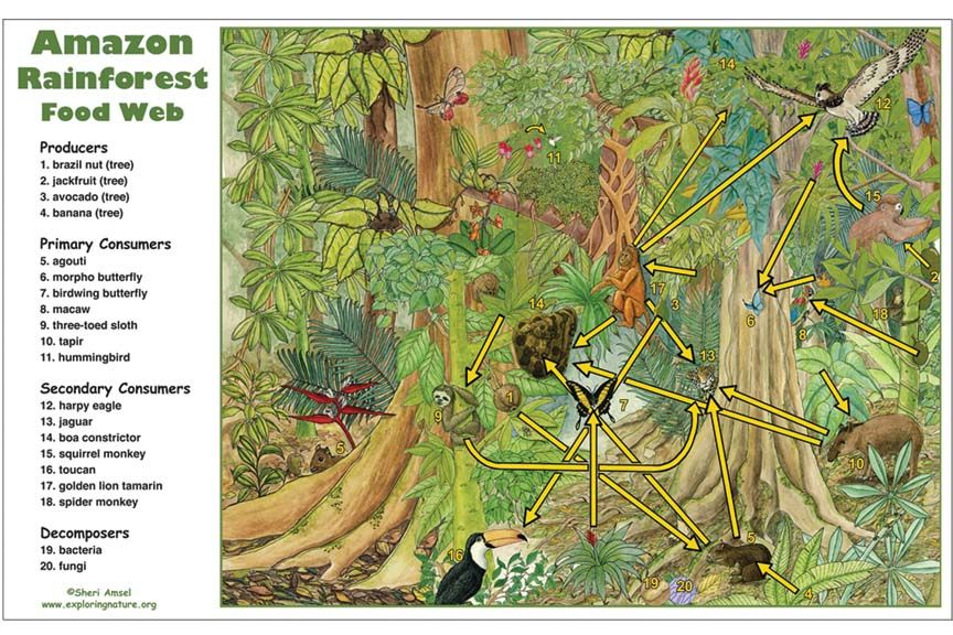 Learn About Rainforests On Exploringnature Org Food Web