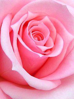 Download pink rose wallpaper 36977 from mobile wallpapers - Samsung rose wallpaper ...
