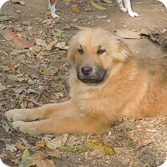 Adopt A Pet Heather Londonderry Nh Golden Retriever Shar