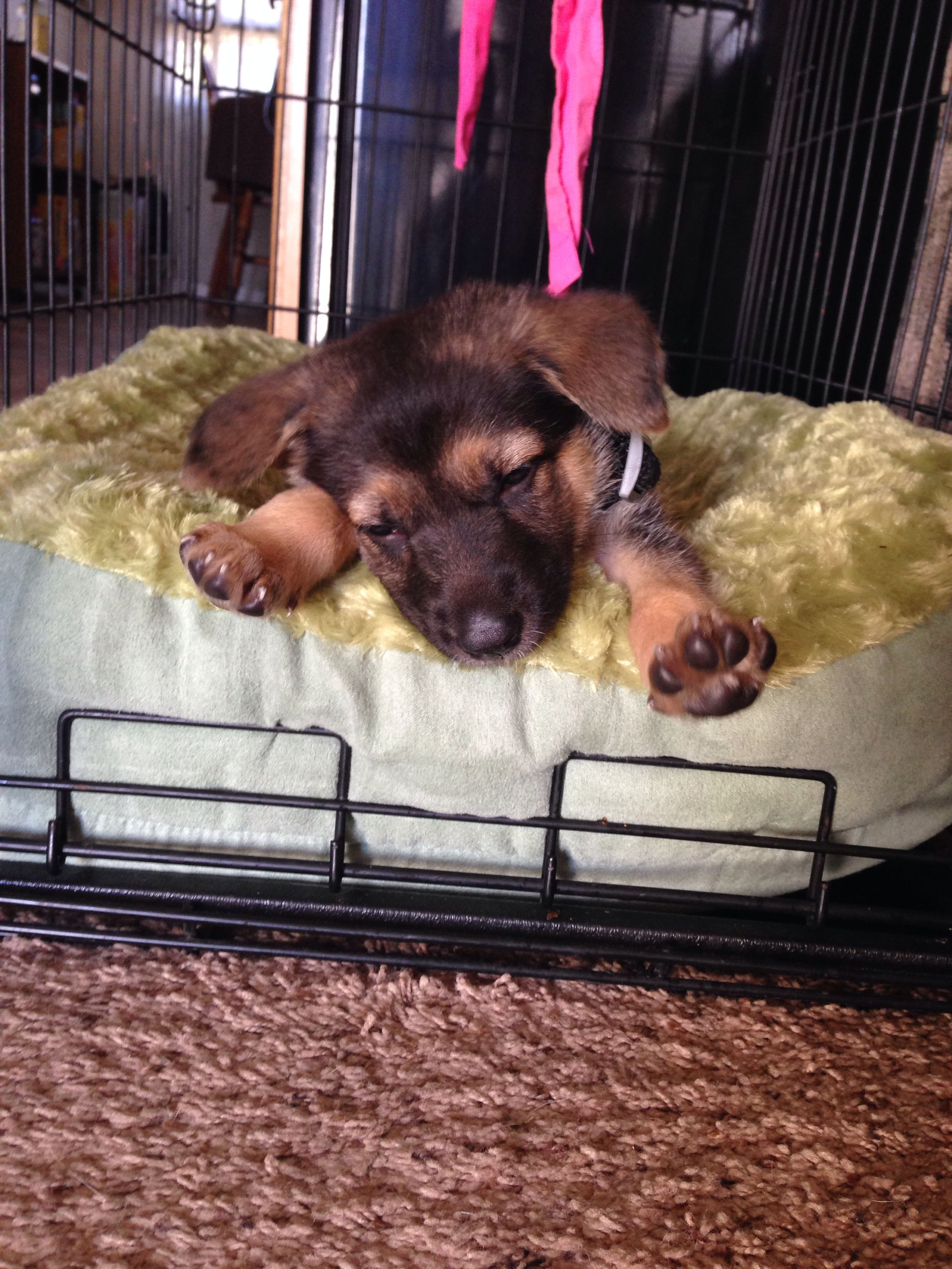 German Shepherd Puppy Meka Tired After A Day Of Crate Training