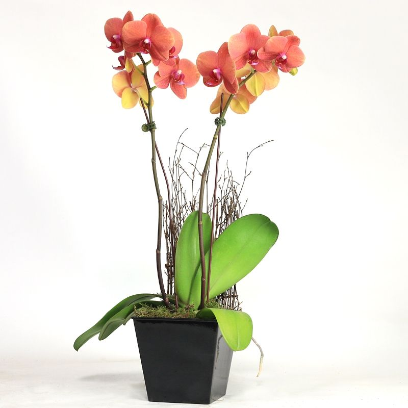 Double Spike Phalaenopsis With Wood Screen With Images Phalaenopsis Wood Screens Asian Flowers