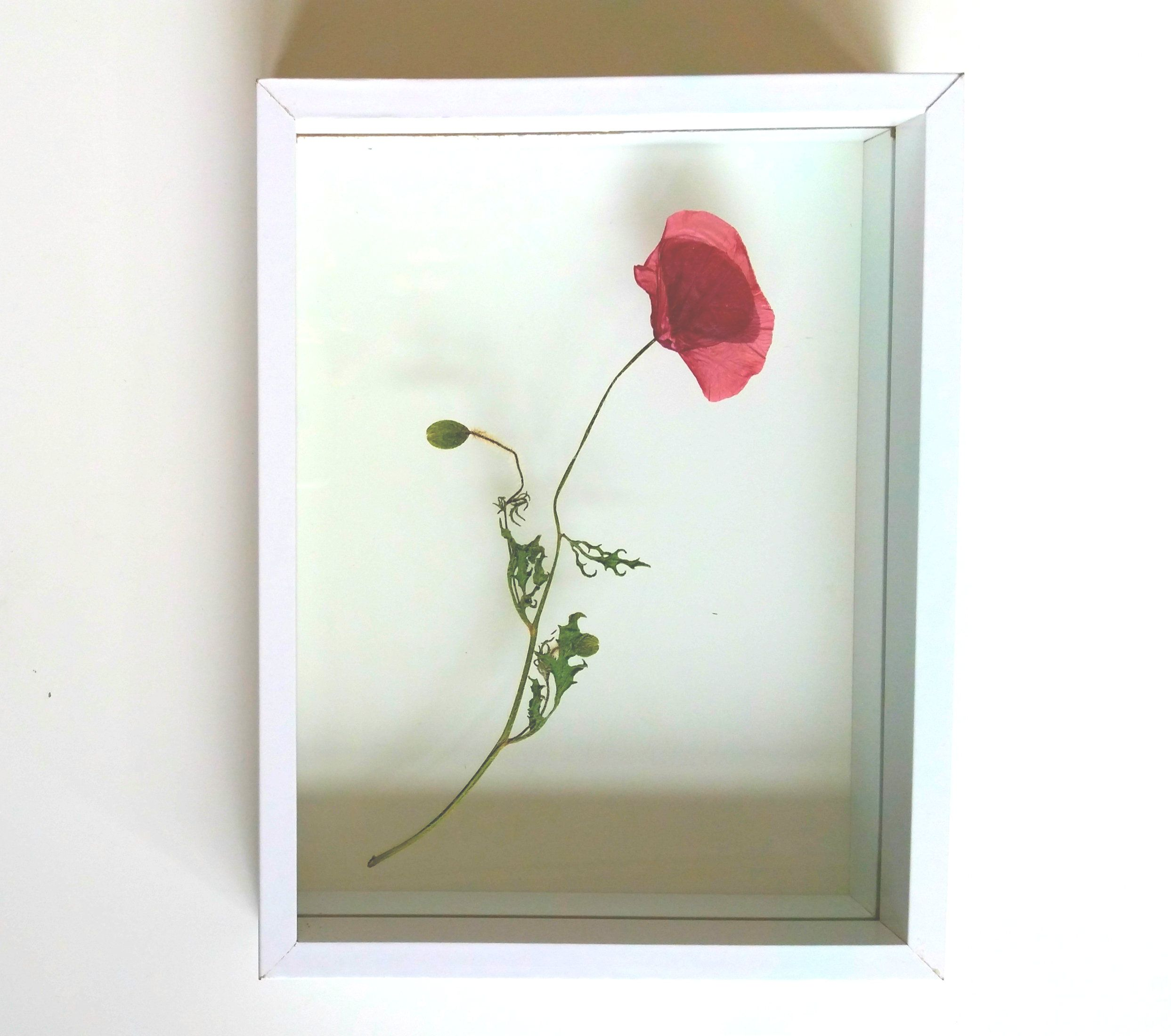 Dried Poppy Flower Floating In White Frame Gedroogde Klaproos