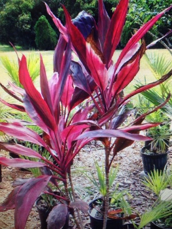 Ti Plant Cordyline Fruticosa This Appears To Be A Beautiful Ti Plant Cordyline Fruticosa Native To The Tropics As An Plants Outdoor Plants Garden Trees
