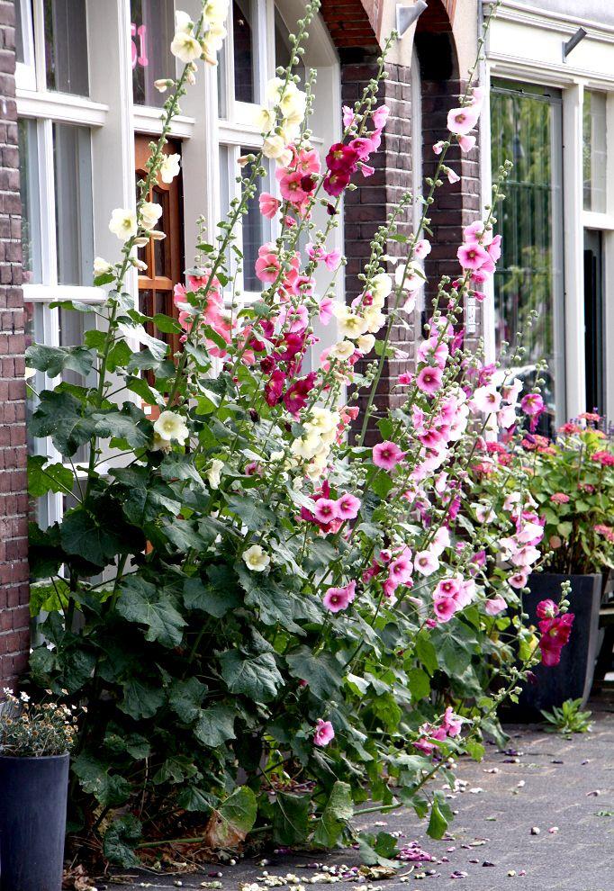 Rose trémière Jardins, Idées jardin, Massif fleurs
