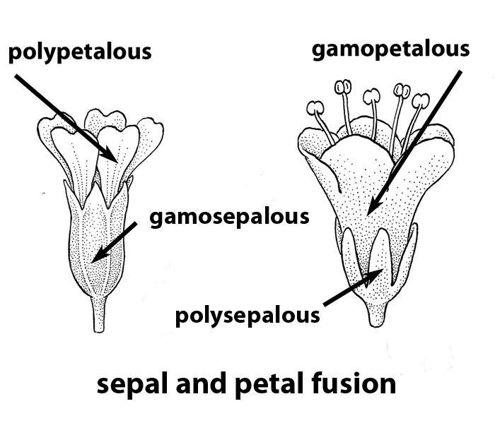 polypetalous v. monopetalous (gamopetalous) (With images