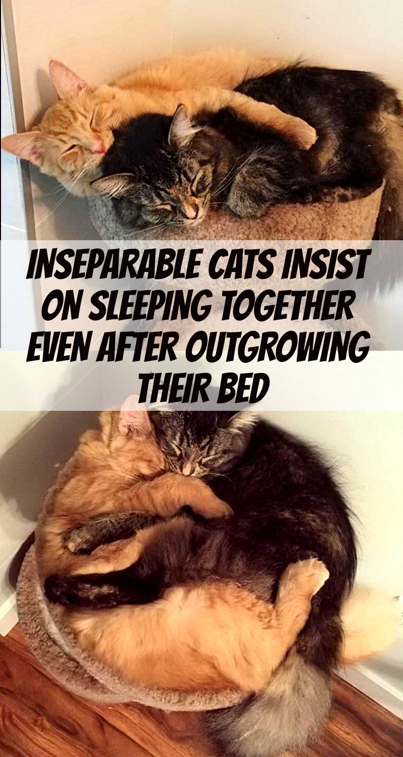 Inseparable Cats Insist On Sleeping Together Even After Outgrowing Their Bed Cat Sleeping Cats Stylish Cat Bed