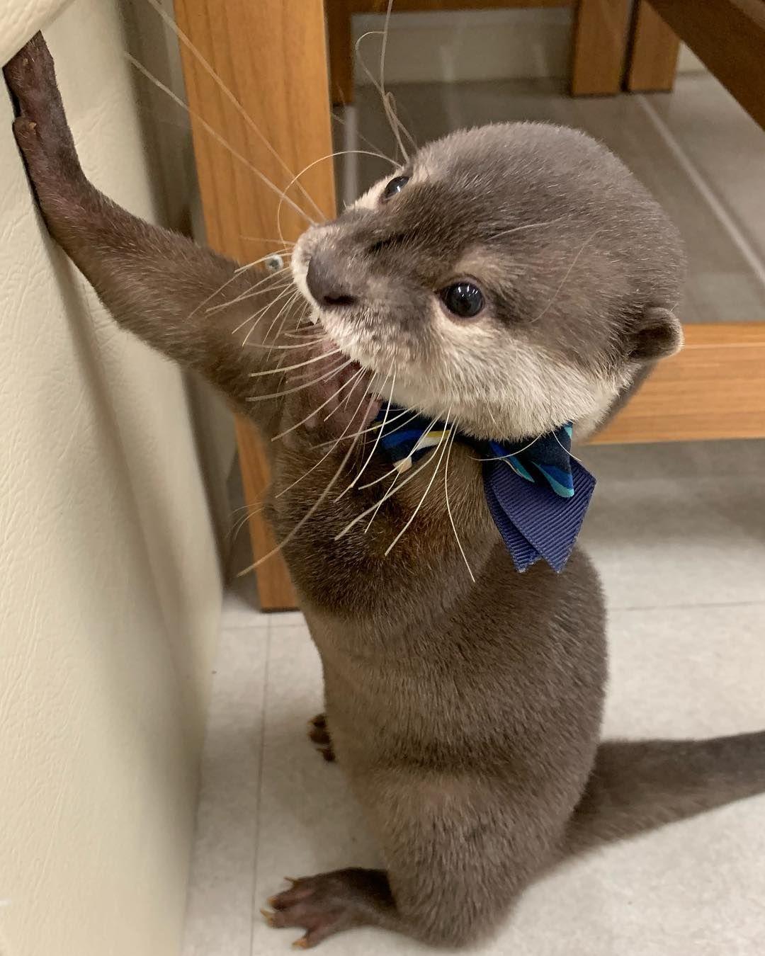 Yuki On Instagram うちの壁ドンかわいーやろ てへぺろ コツメイト コツメカワウソ カワウソ 福岡 大名 ペット ふれあい 可愛い 癒し Fukuoka Otter コツメイト福岡大名 コツメイト名古屋 コツメイト池袋 Otterbox