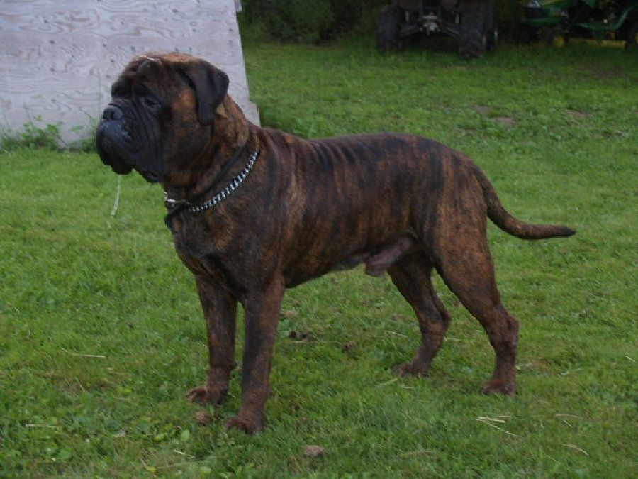 My second favorite dog breed the bull mastiff is from the great state of Maine.    http://dogculture.net/puppies-for-sale/akc-bullmastiffs-451.htm