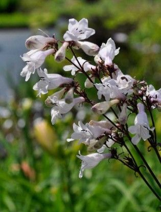 Penstemon huskers red plants pinterest red leaves white sprays of small white flowers are carried in tall slender stems with long deep red leaves forms an upright bushy clump mightylinksfo