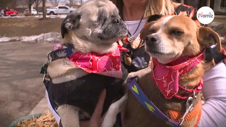 Blind pug and chihuahua brother are looking for a forever