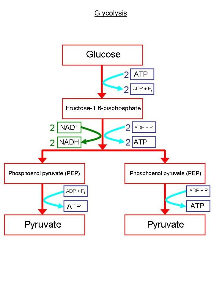 Biochemical Pathway Of Cell Respiration Flow Chart New Respiration
