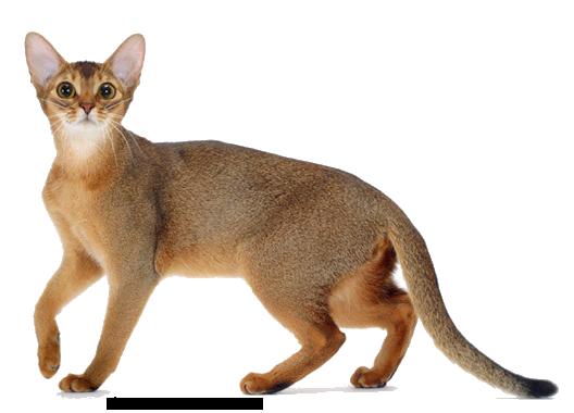 Abyssinian Cat Abyssinian Cats Cat Breeds Popular Cat Breeds