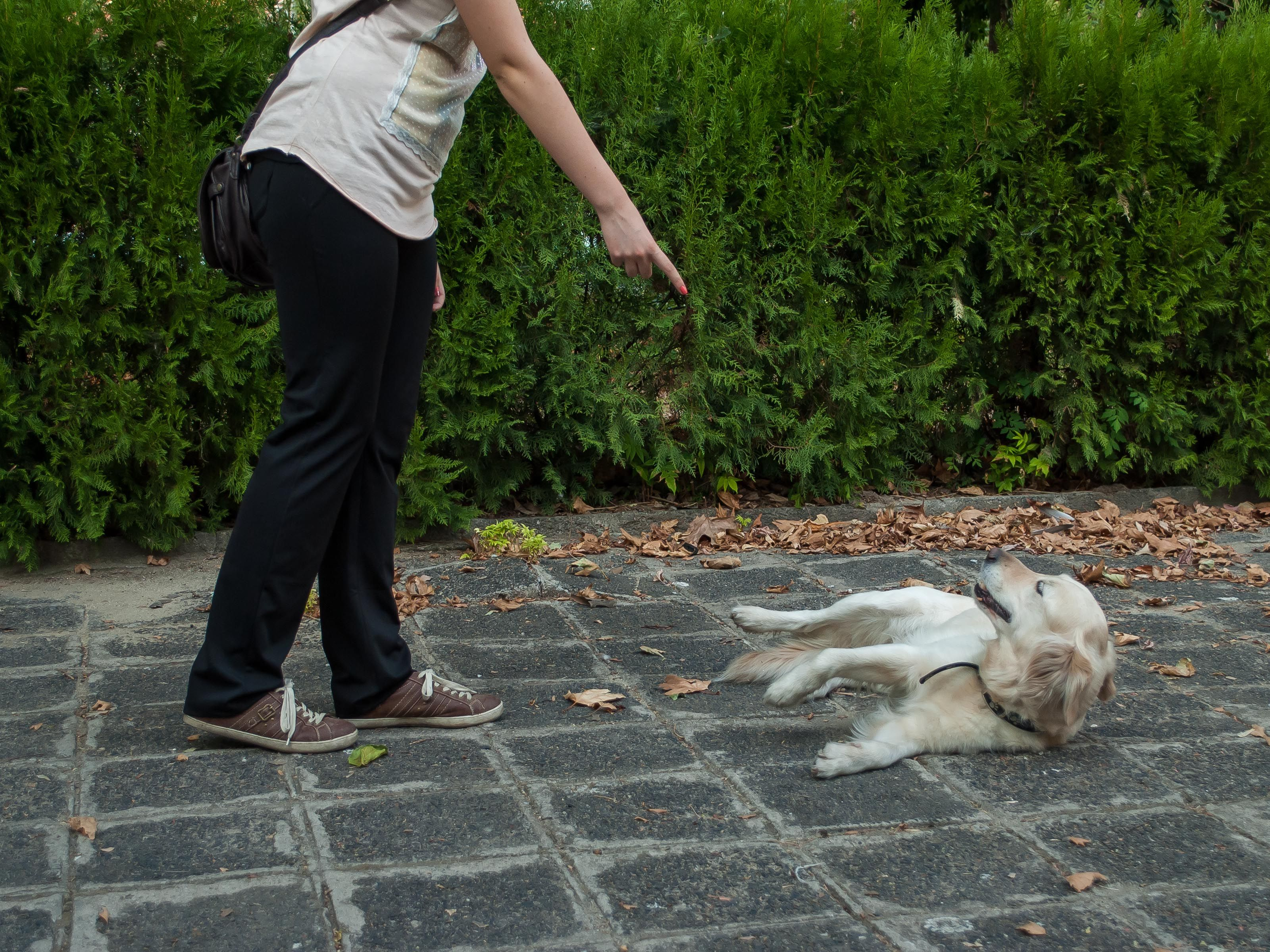 Train Your Dog To Roll Over Dog Training Training Your Dog