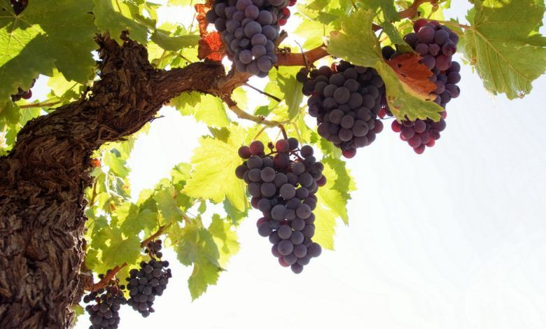 Grapes Wallpaper Hd 1080p Grape Wallpaper Grapes Fruit Wallpaper