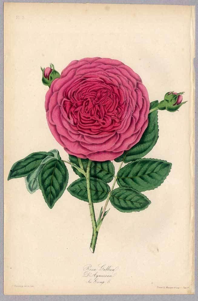 Rosa gallica D'Aguessau 1850