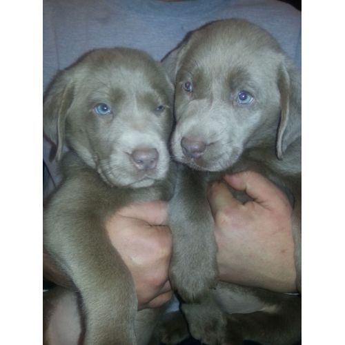 Akc Silver Lab Puppies For Sale Dogs Paper Shop Free Classifieds Lab Puppies Silver Lab Puppies Puppies