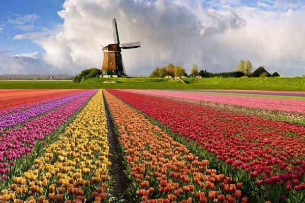 Each year, farmers grow tulips of different colors to the delight of all lovers of these spring flowers, as well as tourists from around the world who come to admire the colorful tulip plantations.