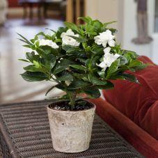 Gardenia In Distinctive Birch Container Indoor Office Plants Gardenia Care Plants House Plants