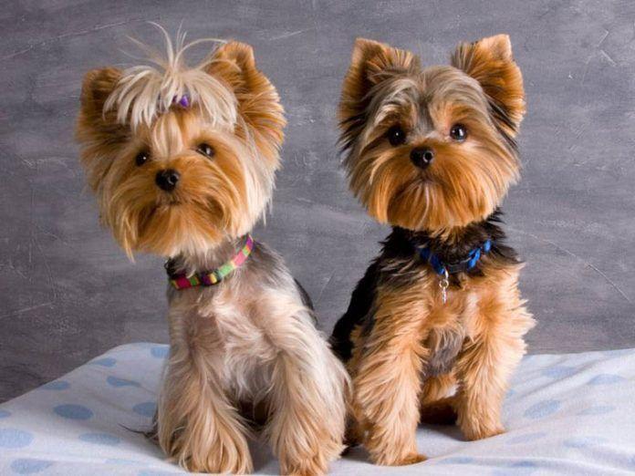 Yorkie Haarschnitte Bilder Coolste Yorkshire Terrier Haarschnitte Yorkie Welpen Hundehaarschnitte Yorkshire Terrier